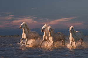 Bild på Angels of Camargue