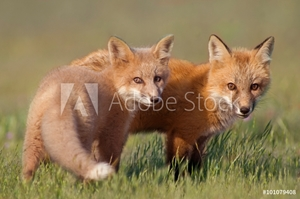Bild på Animal Friends.   Two young Foxes playing together in field