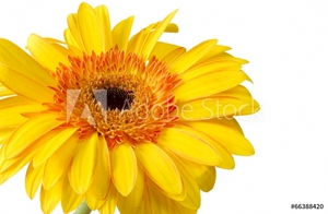 Bild på Bright yellow and orange gerbera on white