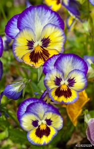 Bild på Blue-yellow pansies