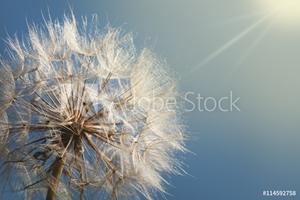 Bild på big dandelion on a blue background