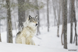 Bild på A wolf sitting in a snowfall in a forest
